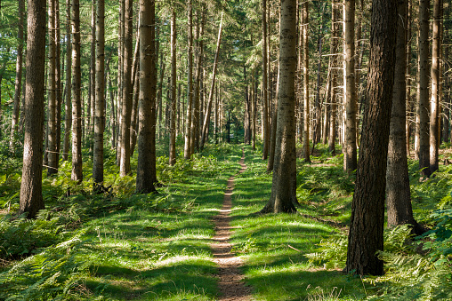 Footpath between coniferous trees in forest