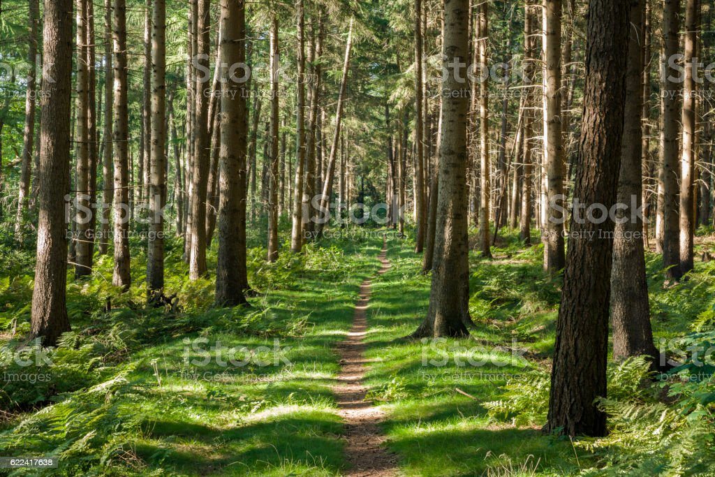 Footpath between coniferous trees in forest stock photo