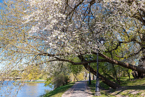 footpath on riverbank under blooming white cherry trees. beautiful landscape of public park in spring