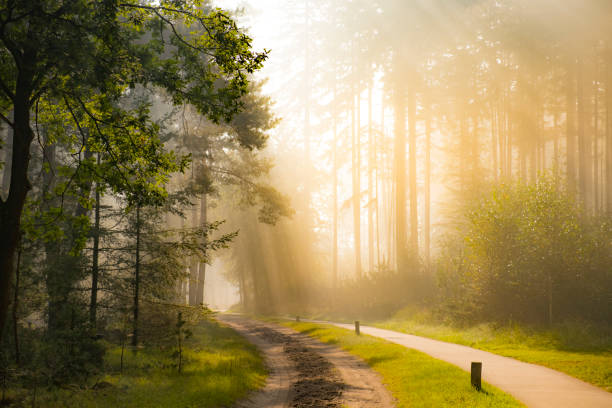Footpath through a Beech and Pine tree forest during a foggy autumn morning stock photo