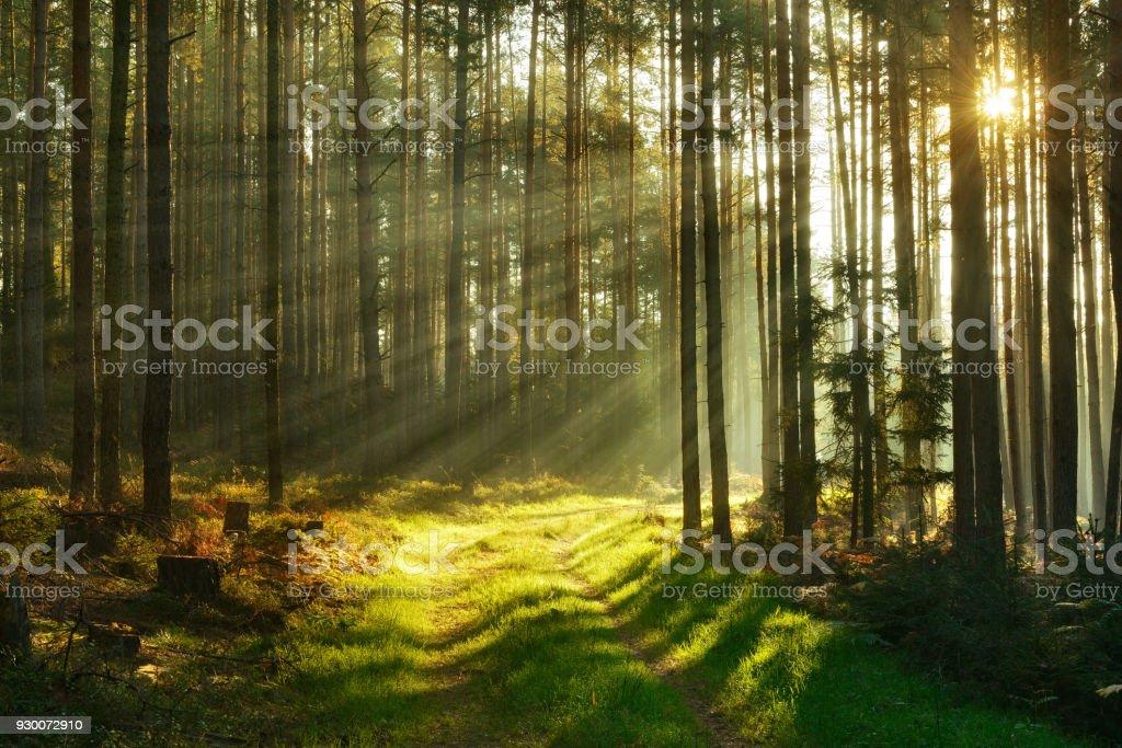 Wanderweg durch Fichten Wald von Sonnenstrahlen durch Nebel beleuchtet – Foto