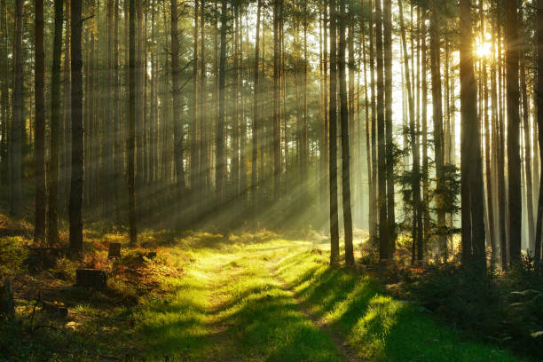 Footpath through Forest of Spruce Trees illuminated by Sunbeams through Fog stock photo