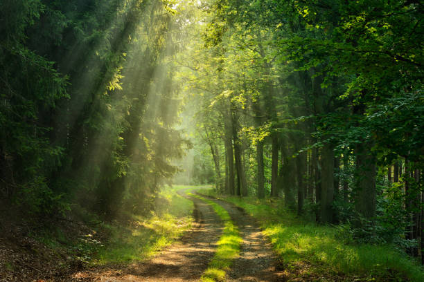 Footpath through Green Forest illuminated by Sunbeams through Fog stock photo