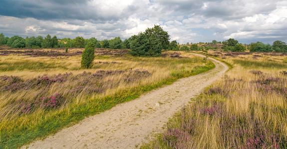 Footpath through Heathland with heather and juniper in Luneburger Heath