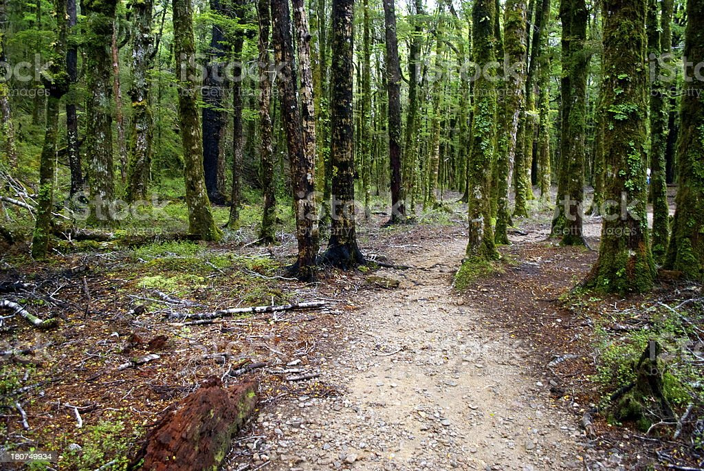 Footpath through Silver Beech (Nothofagus Menziesii), New Zealand royalty-free stock photo