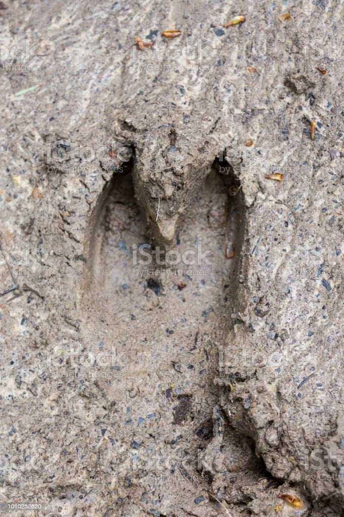 Footprint of a European Wild Boar or Wild Pig stock photo