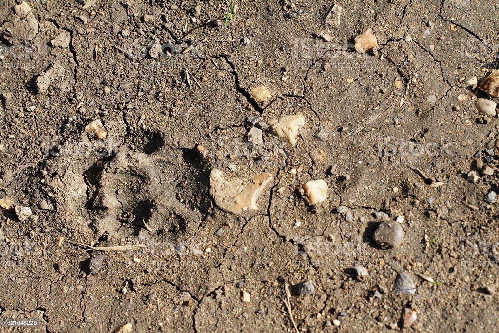 Footprint of fox Vulpes vulpes in soft mud stock photo