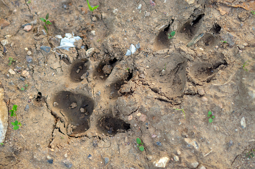 Footprints of a large dog in the sand with small stones and plants nearby