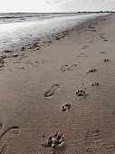 A person was walking with a dog at the ocean water line, they left footprints on the sand