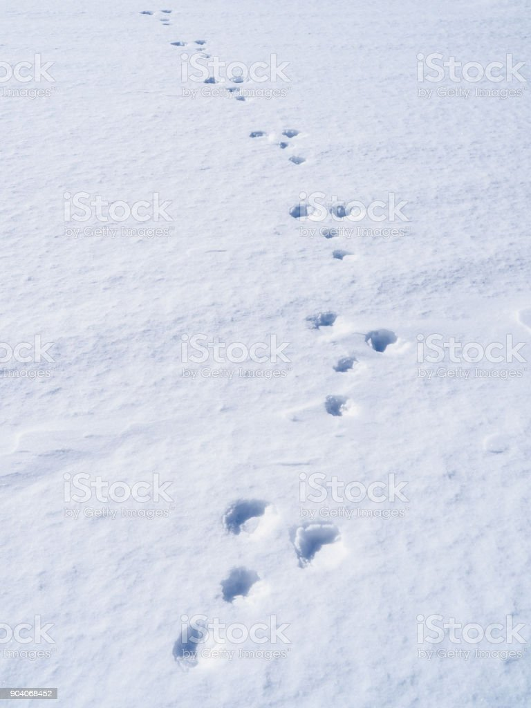 footprints of a rabbit on snow stock photo