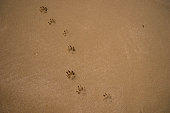footprints of a small dog tracks on wet sand beach with copy space for text