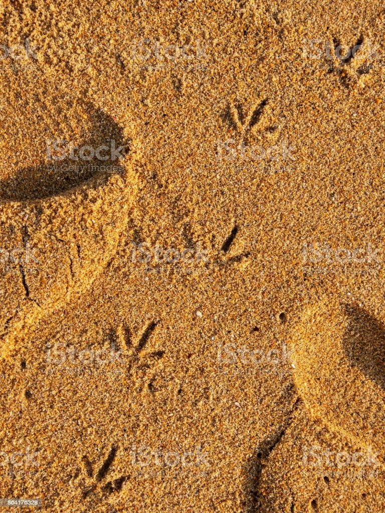 Footprints of bird on beach sand of seashore royalty-free stock photo
