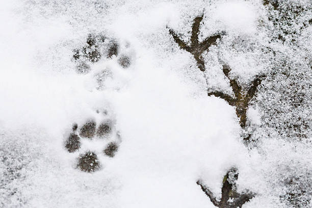 1,778 Animal Tracks Snow Stock Photos, Pictures & Royalty-Free Images -  iStock
