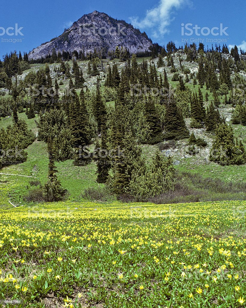 Meadow of Glacier Lilies royalty-free stock photo