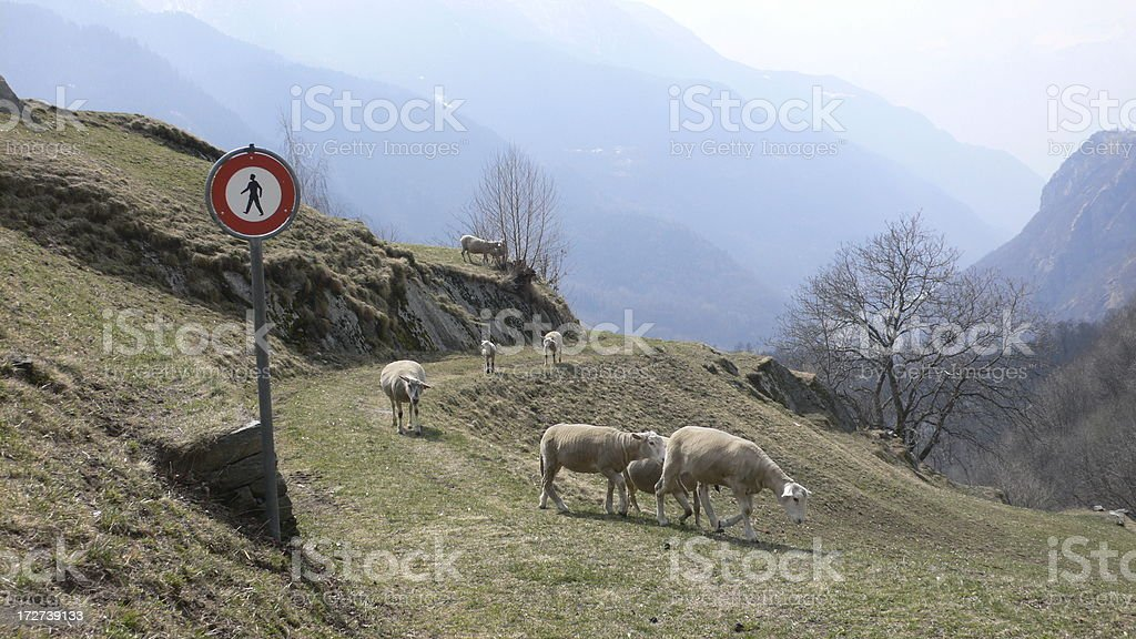 For sheeps only stock photo