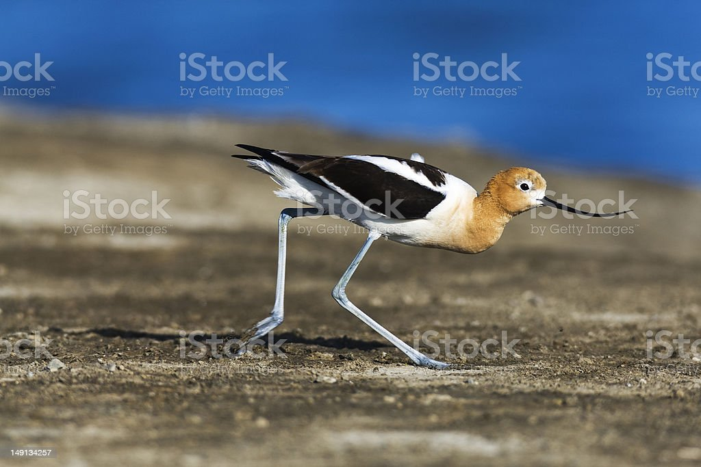 Foraging American Avocet stock photo