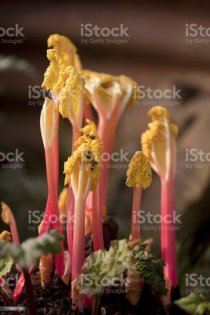 Forced rhubarb royalty-free stock photo