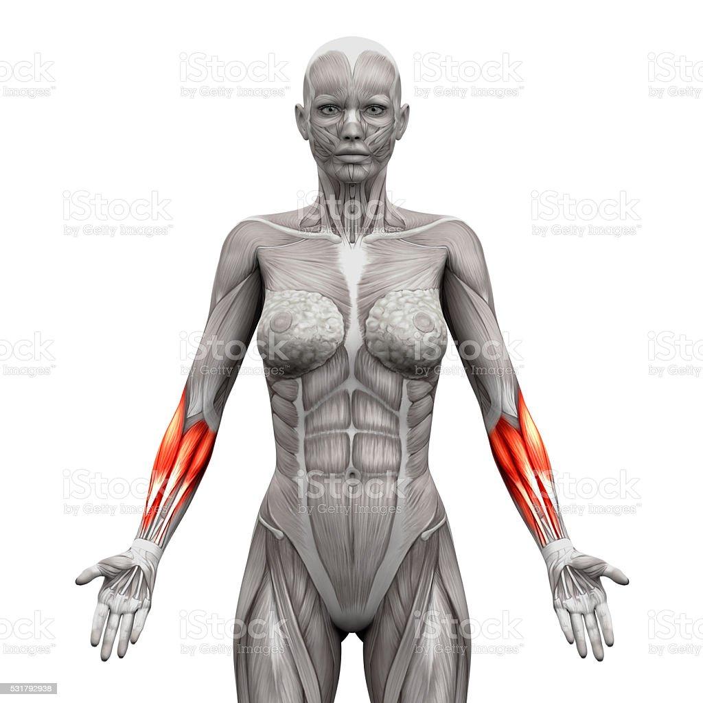 Unterarm Muskelnanatomie Muskeln Isoliert Auf Weißem Stock ...