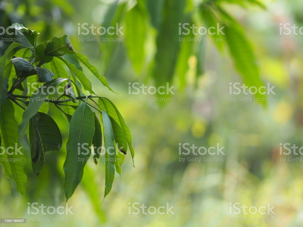 Foreground green leaves texture background of backlight sunshine...