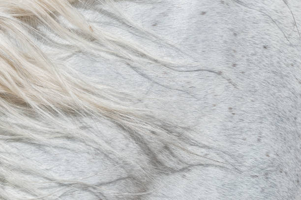 Forelock of a white horse. stock photo