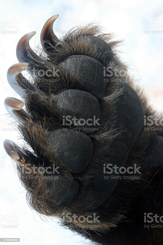 Forepaw Kamchatka bear, leg with claws, Передняя лапа камчатского медведя stock photo