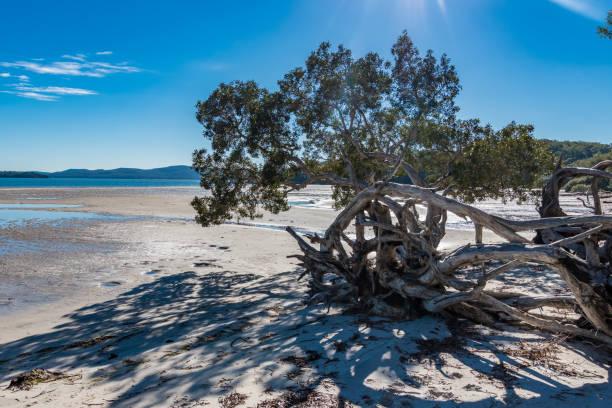 Foreshore of Tanilba Bay with Tree stock photo