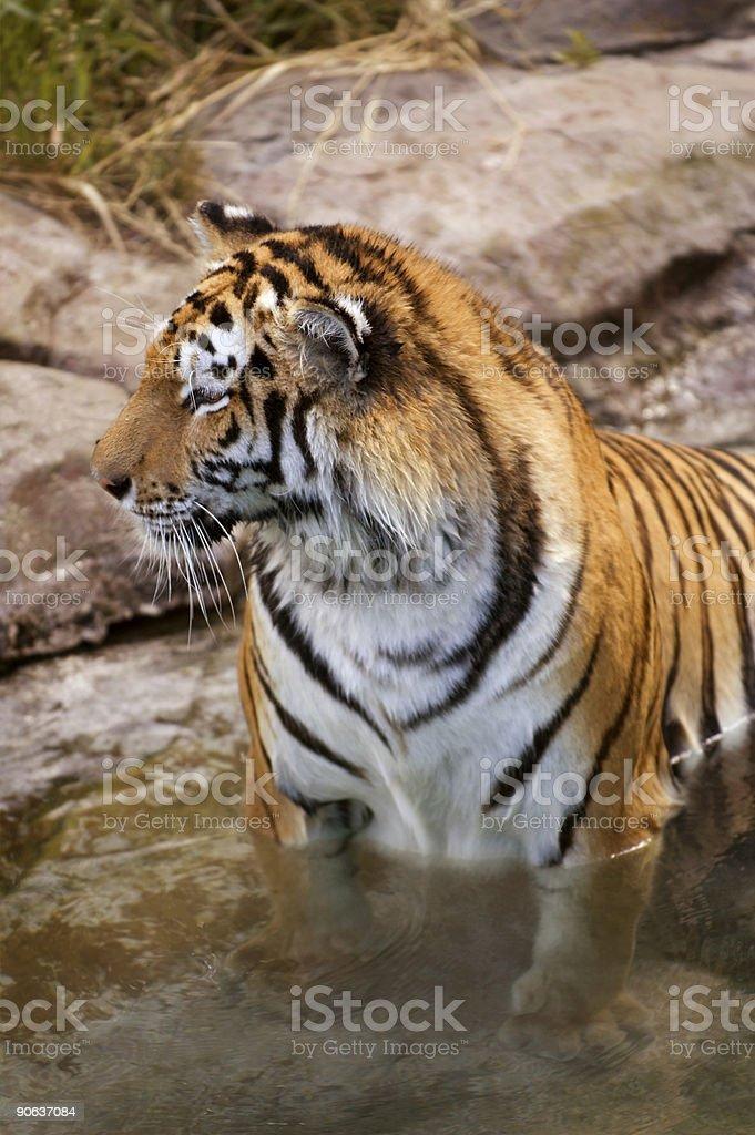 Foreshortened Tiger (Panthera tigris altaica) stock photo