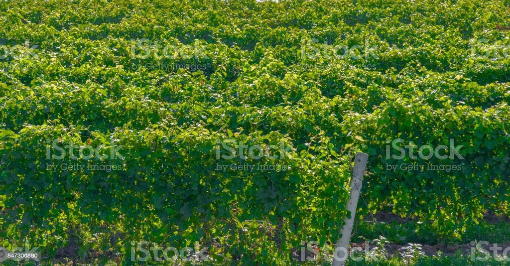 Foreshortened View of Vineyard Rows with Green Leaves - foto stock