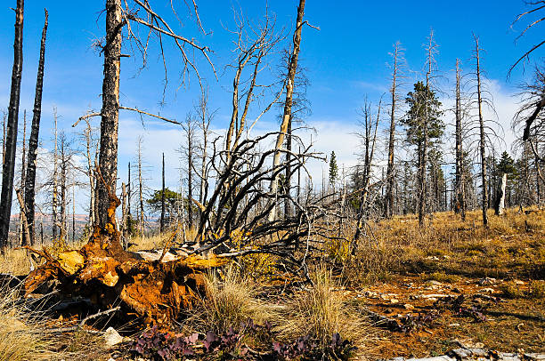 Forest a few years after the fire stock photo