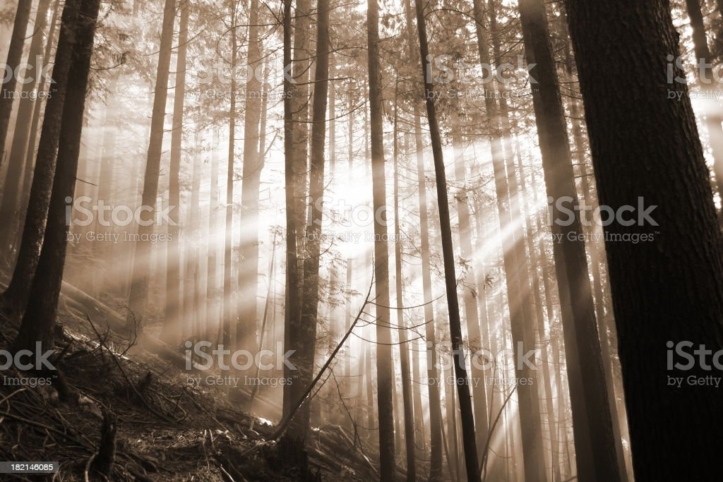 Forest Afire With Sunlight royalty-free stock photo
