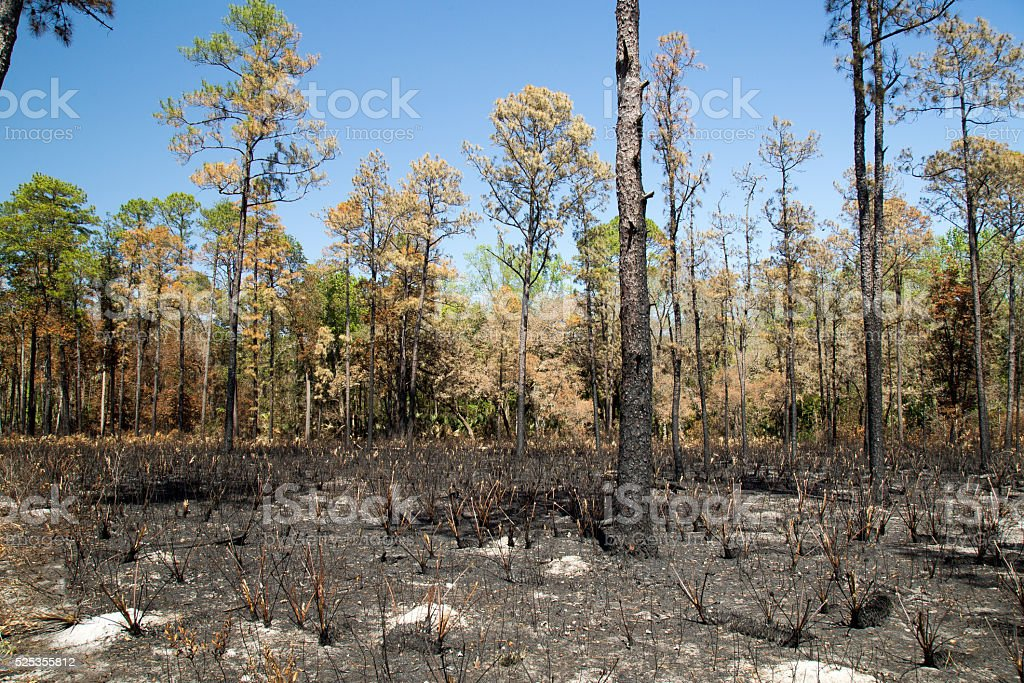 Forest After A Fire With Singed Ground stock photo