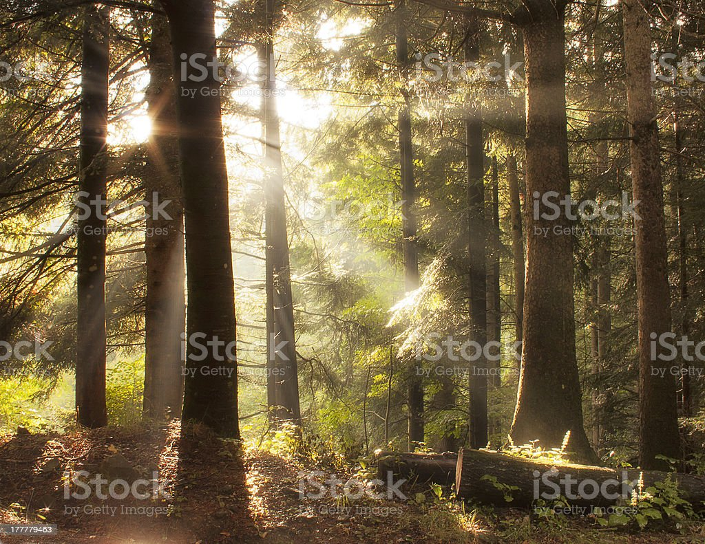 Forest after rain royalty-free stock photo