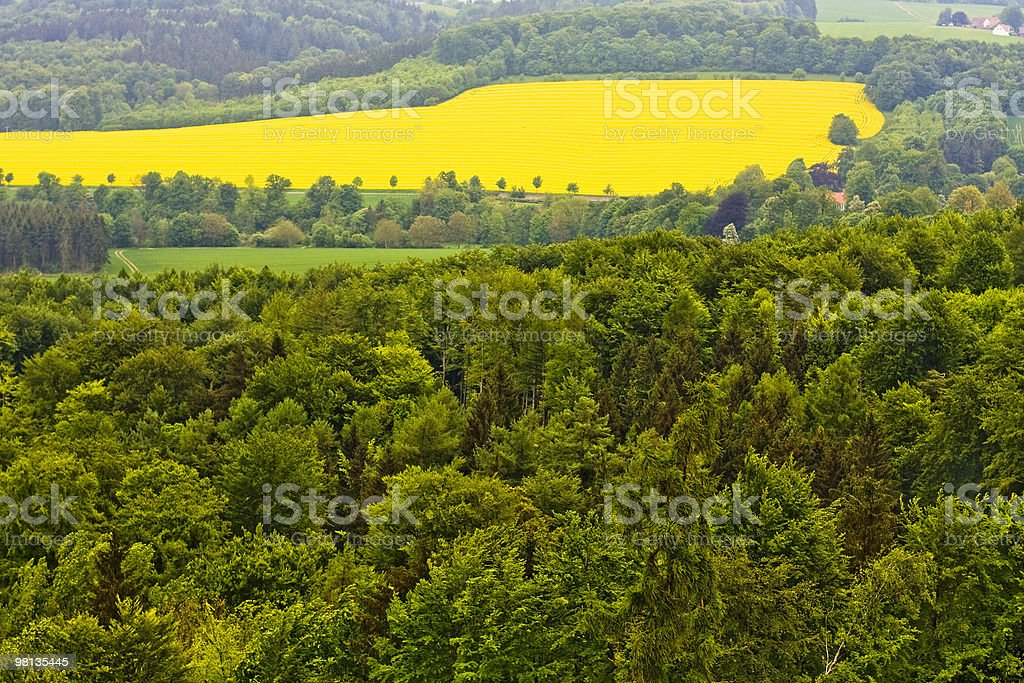 Forest and field with rape. royalty-free stock photo