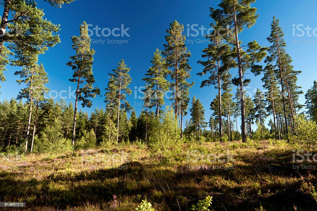 Forest and heathland in Sweden stock photo