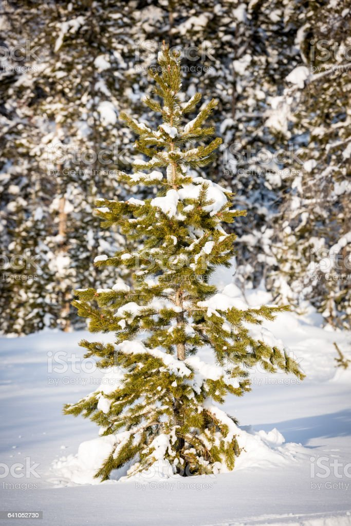 Forest and lone pine in the Idaho winter stock photo