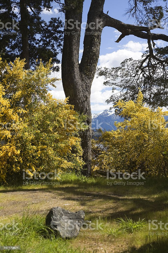 Forest and 'retamas' flowers royalty-free stock photo
