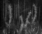 Fireweed with a forest in BW on Vancouver Island.