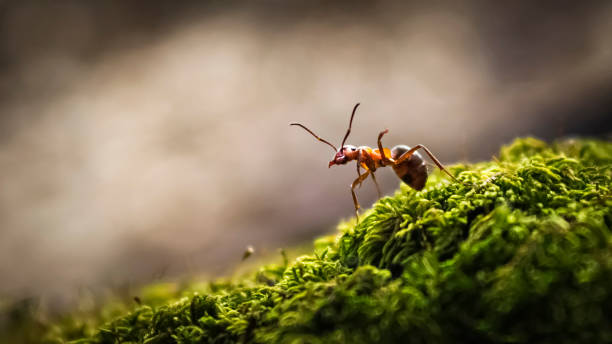 Forest ant closeup The forest ant runs along the green moss ant stock pictures, royalty-free photos & images