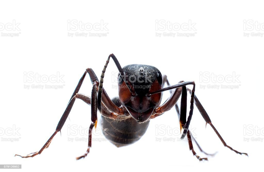 Forest ant isolated stock photo