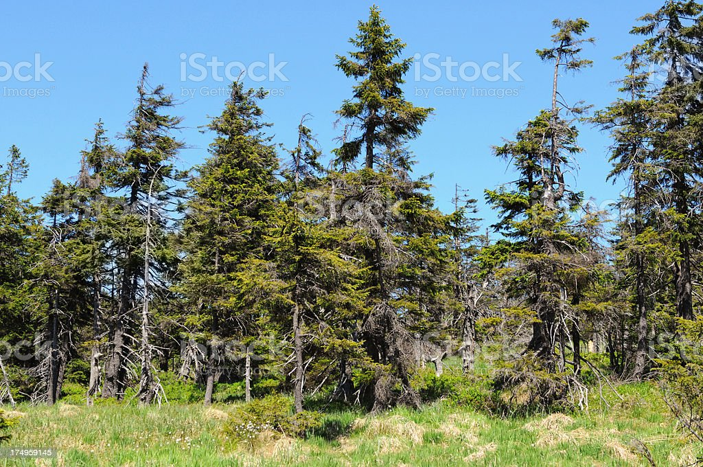 forest at Brocken Mountain damaged by Bark beetle royalty-free stock photo