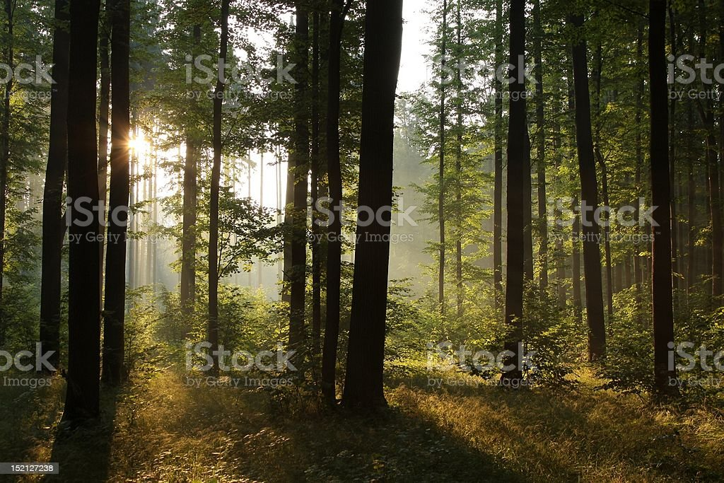 Forest at dawn royalty-free stock photo