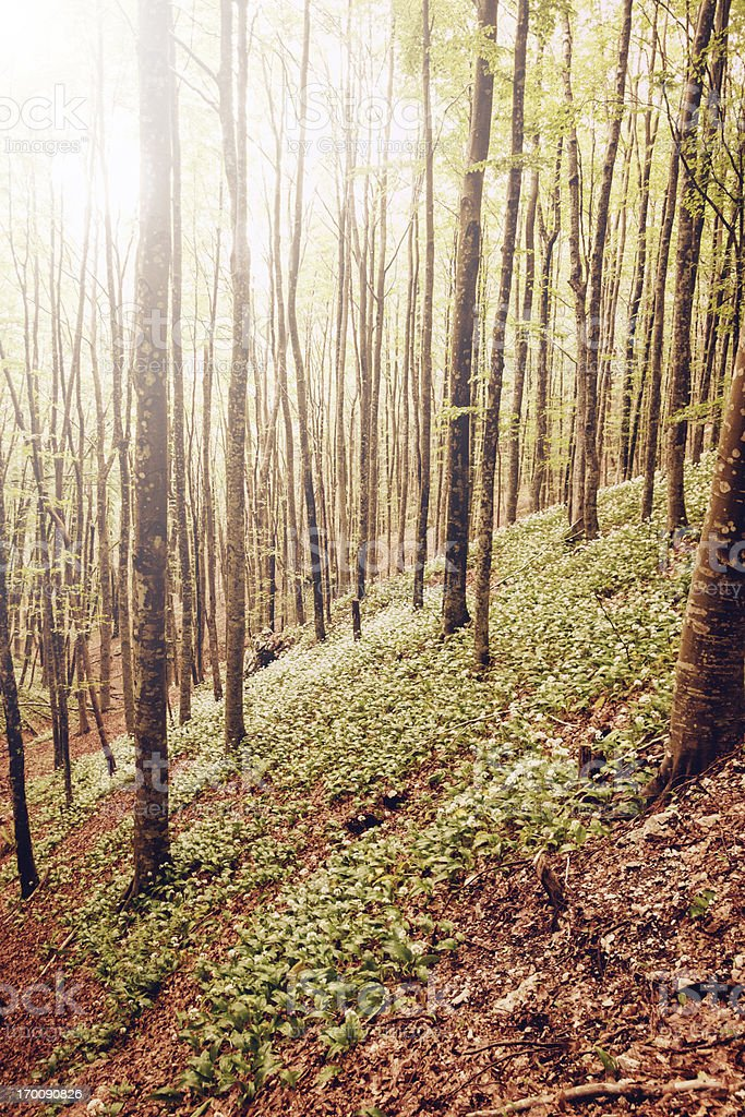 Forest at Morning Light royalty-free stock photo