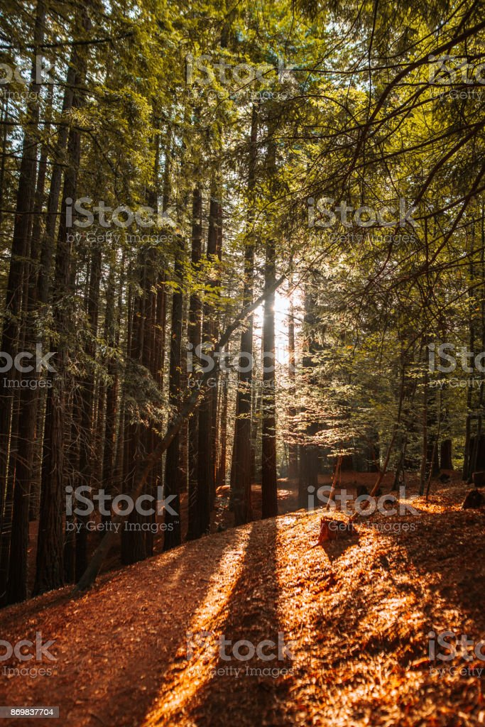 Forest at sunset stock photo