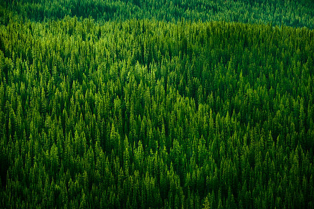 forest background - evergreen tree stock photos and pictures
