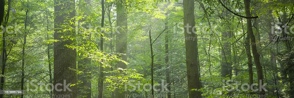 Forest Background With Sunlight Filtering Through the Leaves royalty-free stock photo