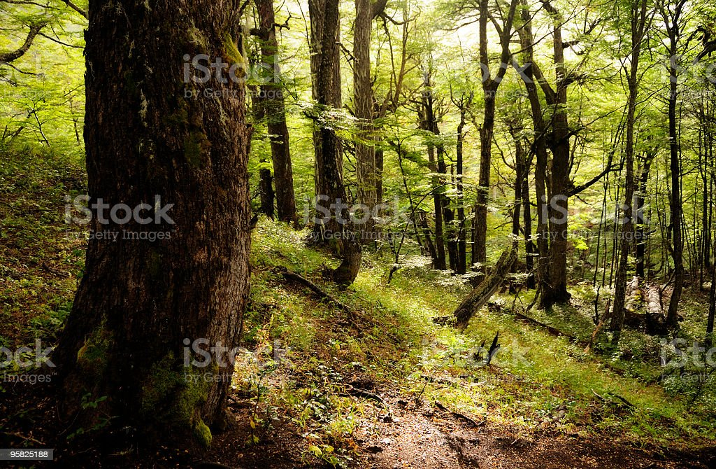 Forest, Bariloche, Patagonia, Argentina royalty-free stock photo