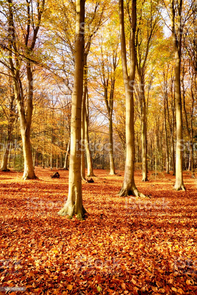 Forest beech trees in autumn fall stock photo
