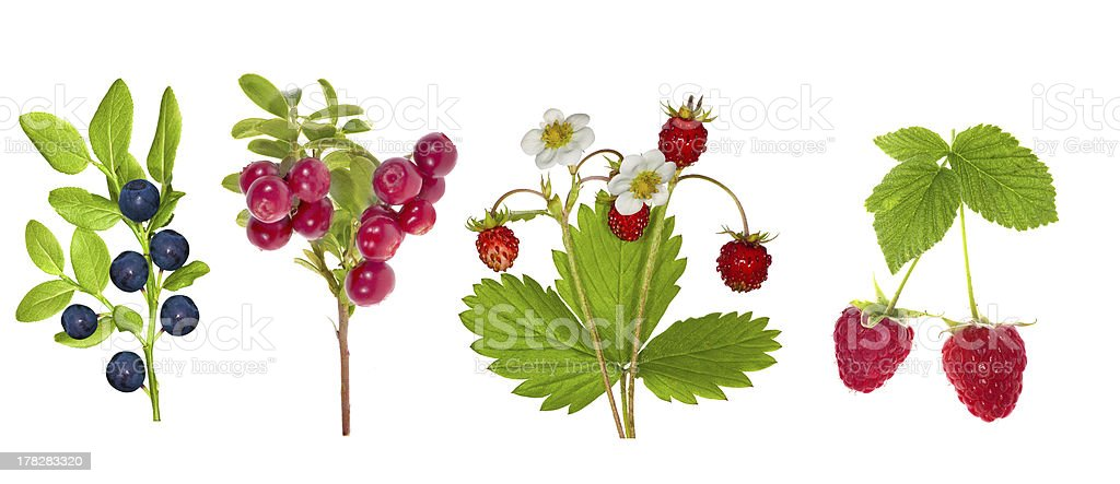 forest berries collection isolated on white stock photo
