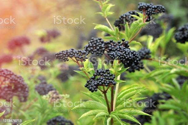 Photo of Forest black elderberry, shrub with berries