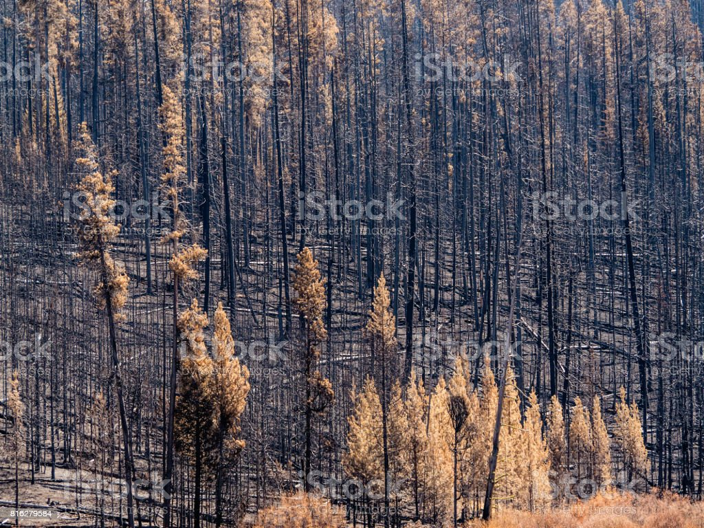 Forest blackened and burned by fire with some dead foliage remaining. stock photo